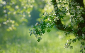 Picture greens, nature, tree, branch, spring, flowering, bokeh