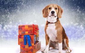 Picture winter, gifts, New year, Beagle