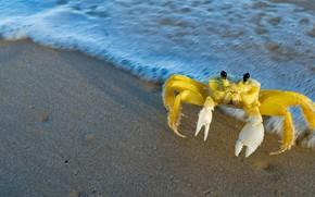 Picture sea, claws, золотой краб-призрак