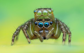 Picture eyes, macro, background, spiders, spider, jumper, jumper, spider, jumping spider, членистоногое