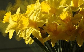 Picture macro, bouquet, yellow, daffodils