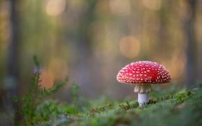 Picture background, mushroom, mushroom, bokeh