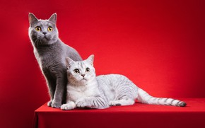 Picture cat, cat, cats, pose, two, pair, beads, decoration, grey, a couple, red background, photoshoot, British, …