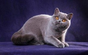 Picture cat, cat, look, pose, kitty, grey, legs, muzzle, cute, color, kitty, sitting, British, breed, British, …