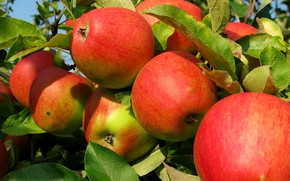 Picture nature, apples, Tree, fruit