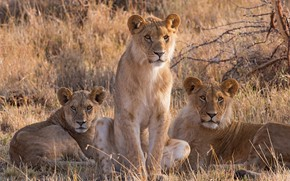 Wallpaper grass, look, nature, Savannah, three, lions, the cubs, trio, sitting, lioness, Trinity
