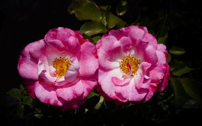 Picture two, roses, pair