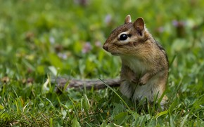 Picture grass, look, pose, glade, legs, muzzle, animal, Chipmunk, green background, stand, bokeh, rodent