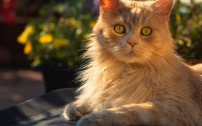 Picture cat, look, face, light, nature, red