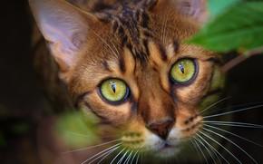 Picture cat, cat, look, face, portrait, Bengal