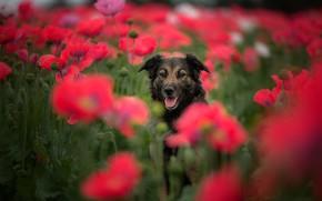 Picture language, look, flowers, Maki, dog, blur, poppy field