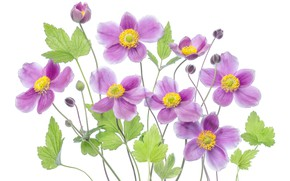 Picture leaves, petals, Anemone, white background, buds, Anemone