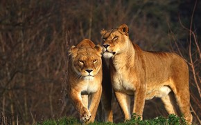 Picture look, branches, nature, pose, background, two, pair, walk, wild cats, lioness, lioness, two lionesses