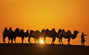 Picture the sun, sunset, silhouette, camel, caravan