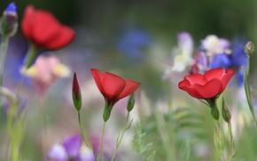 Picture flowers, glade, blur, blue, red, len, bokeh, len