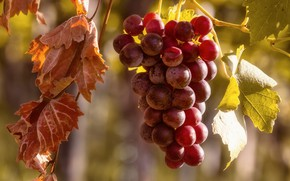 Picture leaves, red, grapes, bunch