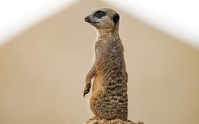 Picture nature, background, meerkat