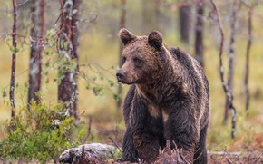 Picture forest, grass, look, face, trees, nature, wet, pose, rain, stone, bear, bear, brown
