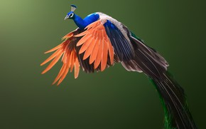 Picture background, bird, wings, peacock