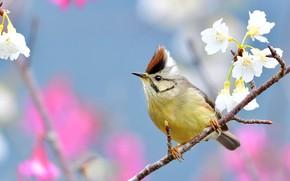 Picture flowers, bird, branch, spring, white, bird, flowering, blue background, bokeh, tit, crest