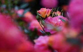 Picture flowers, rose, roses, blur, garden, pink, buds, bokeh, rose Bush