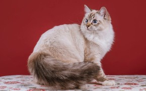 Picture cat, cat, look, strips, pose, grey, sweetheart, muzzle, tail, white, grey, is, red background, light, …