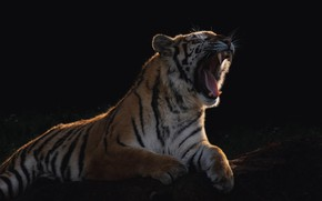 Picture light, tiger, shadow, predator, wool, mouth, fangs, lies, fur, beast, striped, wild cat, yawns, the …