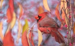 Picture autumn, leaves, branches, nature, background, bird, foliage, beak, fruit, red, bird, red, cardinal, bright, meal, …