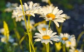 Picture white, summer, Chamomile