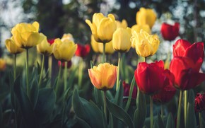 Picture flowers, spring, yellow, tulips, red, flowerbed, bokeh