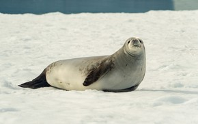 Picture winter, snow, shore, seal, face, Navy seal, pond, ластоногое
