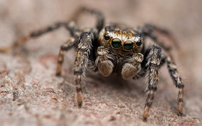 Picture look, macro, background, legs, spider, brown, blurred, jumper, the Hoppy, Bouncing
