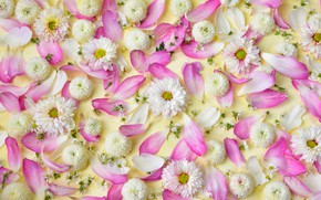 Picture flowers, petals, pink, white, white, chrysanthemum, pink, flowers, petals, floral