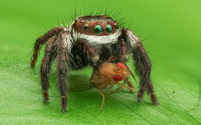Picture look, macro, green, fly, background, leaf, spider, green-eyed, mining, jumper, spider, squints, the Hoppy, Bouncing