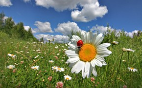 Picture summer, the sky, grass, clouds, macro, flowers, ladybug, Daisy, meadow, Galina Garkavaya