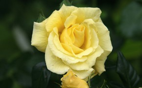 Picture rose, petals, yellow rose
