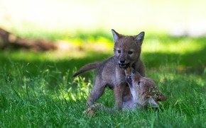 Picture puppies, wolves, a couple, the cubs, the coyotes