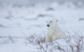 Picture winter, snow, Polar bear, Polar bear