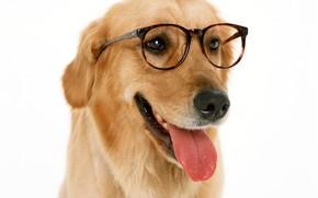 Picture language, face, dog, glasses