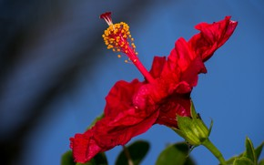 Picture macro, red, background, hibiscus