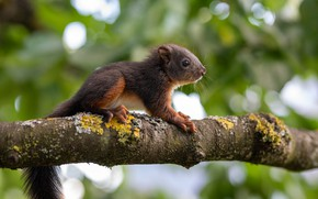 Picture nature, pose, tree, branch, protein, rodent, squirrel