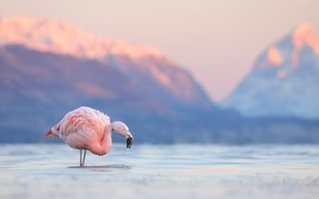 Picture mountains, lake, bird, Flamingo, Chile