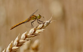 Picture summer, background, dragonfly, spike