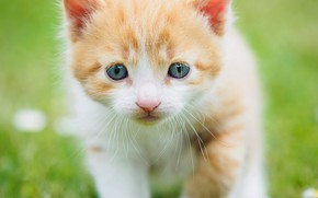 Picture greens, cat, summer, grass, look, kitty, background, glade, eyes, red, muzzle, walk, kitty, blue-eyed, white