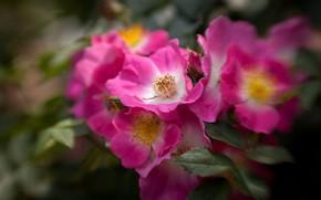 Picture bright, rose, Bush