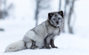 Picture winter, forest, snow, trees, pose, grey, background, light, fluffy, face, sitting, Fox