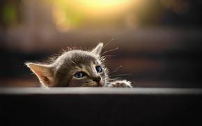 Picture muzzle, grey kitten, blur bokeh