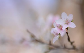 Picture sprig, background, spring, flowers