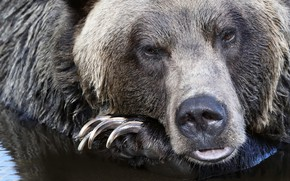 Picture look, face, water, nose, bear, claws, beast, manicure, Grizzly