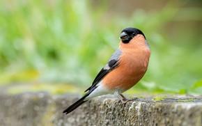Picture bird, bullfinch, green background, bokeh, handsome